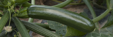 Patmos, Courgette