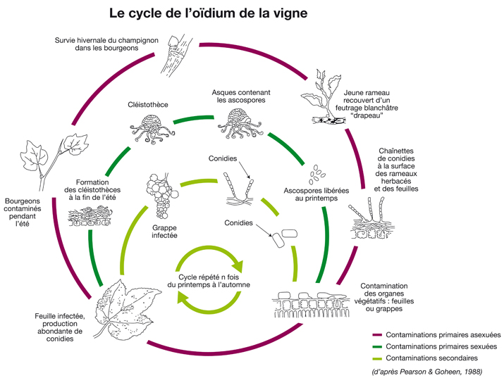 Cycle Oïdium de la vigne
