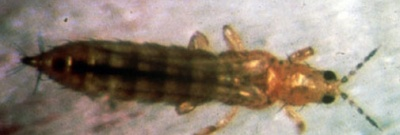 Thrips californien, Thrips