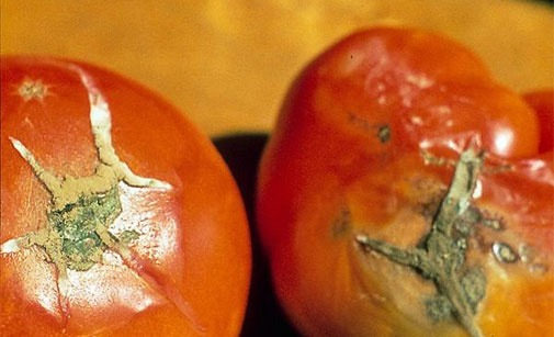 Alternariose de la tomate et pourriture des fruits, Maladies