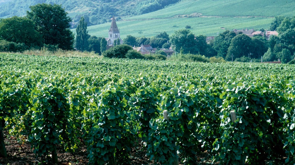 Vignoble, cépage Gamay
